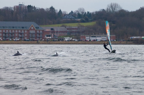 Dolphin windsurf session at Flensburg